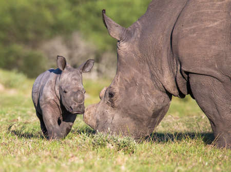 A very young white rhino in the African grassland Reklamní fotografie