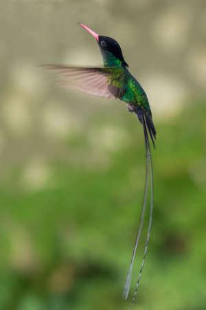 The beautiful green doctor bird or swallow tail hummingbird of Jamaica