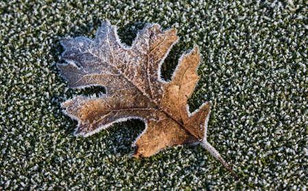 Frosty Maple Leaf lying on Green Grass