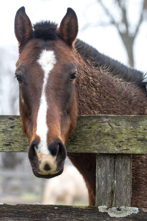 Portrait of a horse looking over a fence