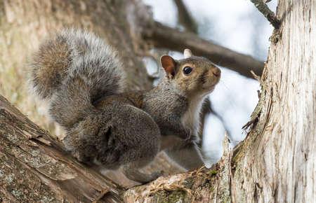 Cute Grey Squirrel with a long bushy tail