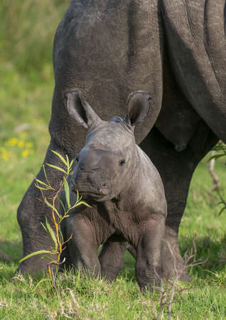 Cute baby Rhino trying to hide behind a small plant