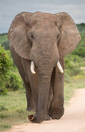 Large African elephant with big ears and tusks