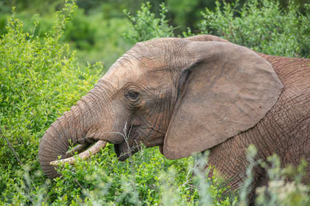 African Elephant eating green leaves in the bush