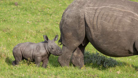 Baby Rhino staying close to it's mother's protective side
