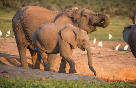 African elephants at a water hole with white egret birds in the background