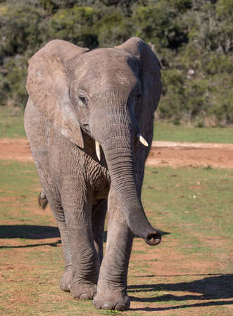 African Elephant with trunk outstretched in South Africa Reklamní fotografie