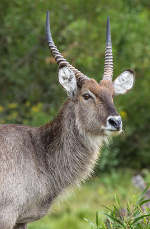 Portrait of an alert male waterbuck with long horns