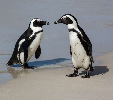 A pair of Jackass Penguins or African penguins at the water's edge Reklamní fotografie