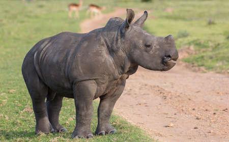 A cute baby white rhinoceros with a bold attitude