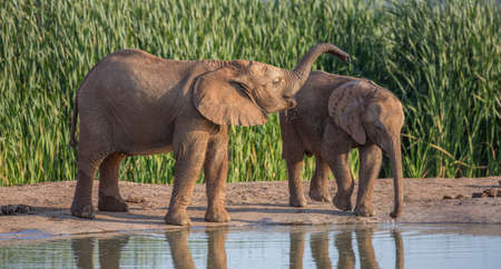 Two young elephants in a playful mood at the waterhole in South Africa