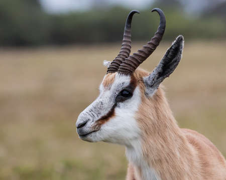 Portrait of a male Springbok antelope with curved horns Reklamní fotografie