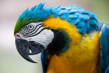 Portrait d'un beau perroquet d'ara avec la plume d'or et bleue