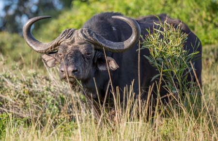 Large male African Buffalo with huge horns in the dense bush