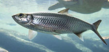 Silver Atlantic herring fish swimming in clear sea water Reklamní fotografie