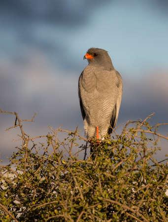 A pretty adult pale chanting goshawk perched in a tree Reklamní fotografie