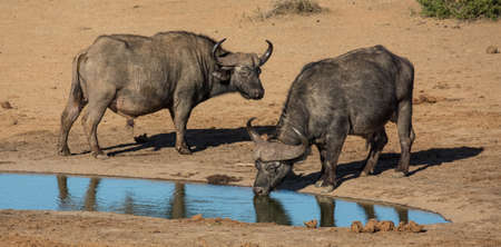 Two large male Cape buffaloes drinking at a waterhole in Africa Reklamní fotografie