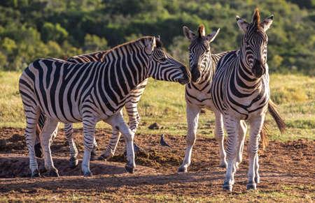 A group of Burchell's zebra in South Africa Reklamní fotografie