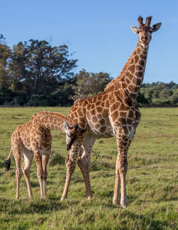 Dos amigas jirafas con cuellos largos y patas largas.