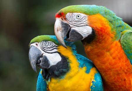 Very beautiful Macaw parrot pair with large beaks Reklamní fotografie
