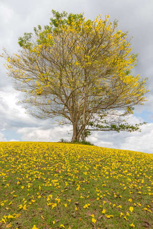 Yellow Poui Tree and carpet of yellow flowers in Jamaica Reklamní fotografie