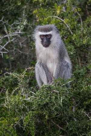 An alert Vervet Monkey sitting in green leafy trees in Africa Reklamní fotografie