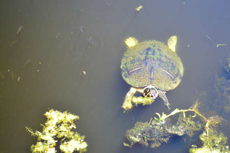 Turtle in Water Looking Right at You