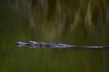 bayou swamp: Alligator in the Water Stock Photo