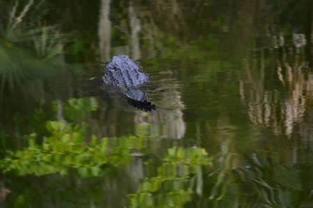 abandoning: Im Outta Here!  Alligator Swimming Away From You Stock Photo