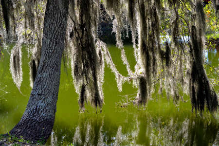 spainish: Back-lit Spainish Moss Hanging in the Swampy Bayou-1