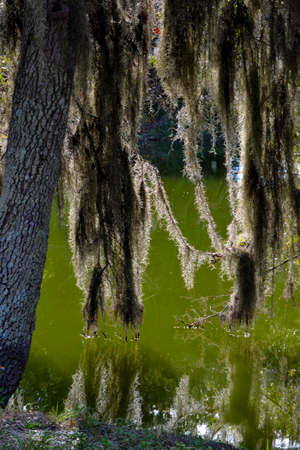 spainish: Back-lit Spainish Moss Hanging in the Swampy Bayou-2