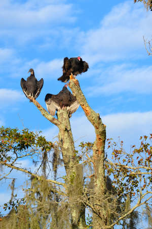 bayou swamp: Vultures (Scavengers) Stock Photo