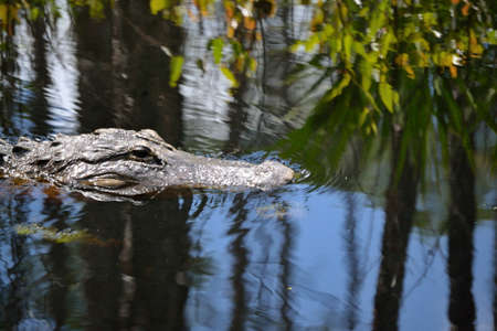 alligators: Alligators head sticking out of the Water. -B