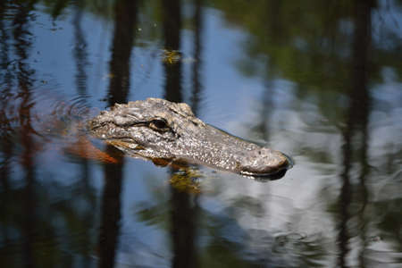 muggy: Alligators head sticking out of the Water. -A