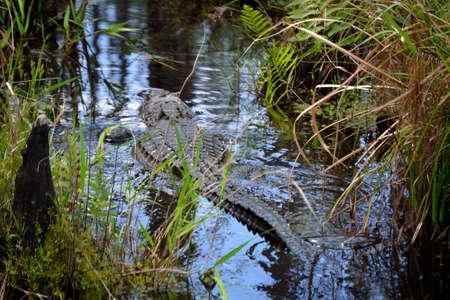 Alligator swimming away.