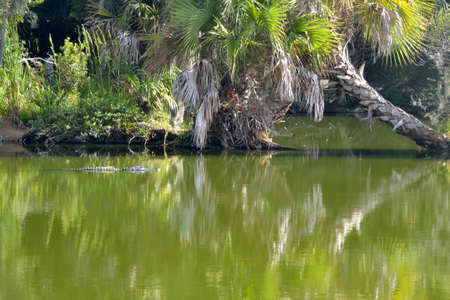 muggy: Alligator in the Green water!