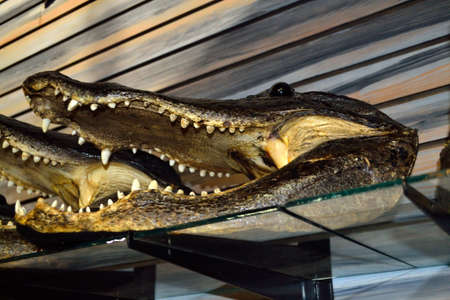 shop for animals: Alligator Heads for Sale! - 2 Stock Photo