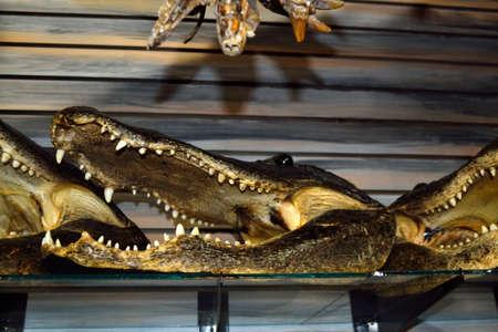 showpiece: Alligator Heads for Sale! - 1