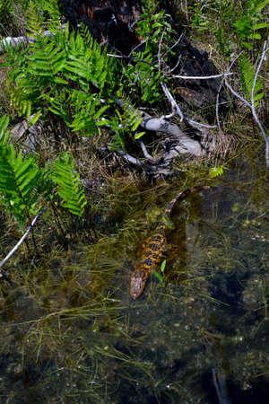 muggy: Baby Alligator