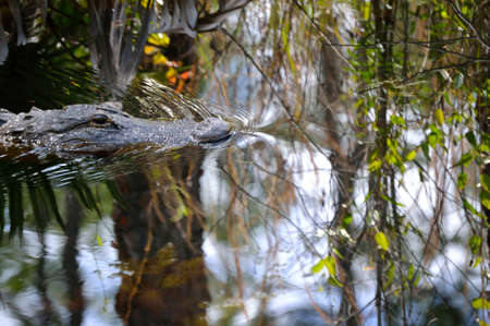 muggy: Alligator Head swimming down the canal.