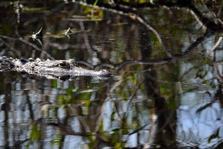 Alligator Head - Close-up. Stock Photo