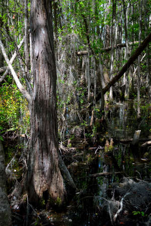 Swamp Beauty - Trees in the swamp.