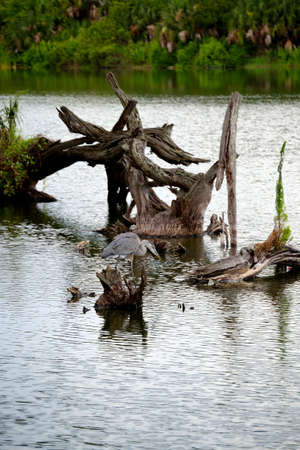 great blue heron: Great Blue Heron amidst the stumps. Stock Photo