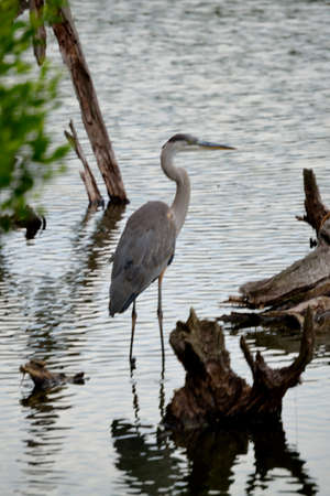 great blue heron: Great Blue Heron Standing Stock Photo