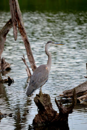 water scape: Great Blue Heron - Profile Stock Photo