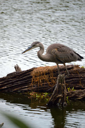 water scape: Great Blue Heron near a log.