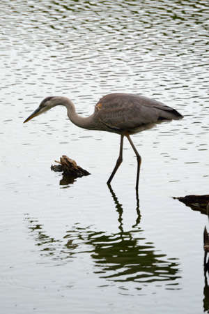 water scape: Great Blue Heron Stock Photo