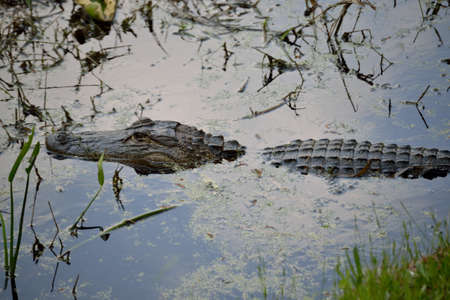 muggy: Alligator in the swamp. Stock Photo