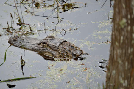 Alligators head sticking out of the Water. Stock Photo