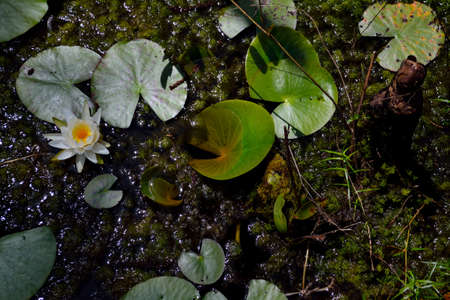 lily pads: Water Lily - Single flower with Lily Pads.